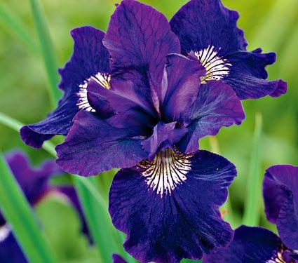 Iris Sibirica Shirley Pope Common Name Siberian Iris Hardiness Zone 3 8 S 3 9 W Height 30 Deer Resistan White Flower Farm Flower Garden Plants