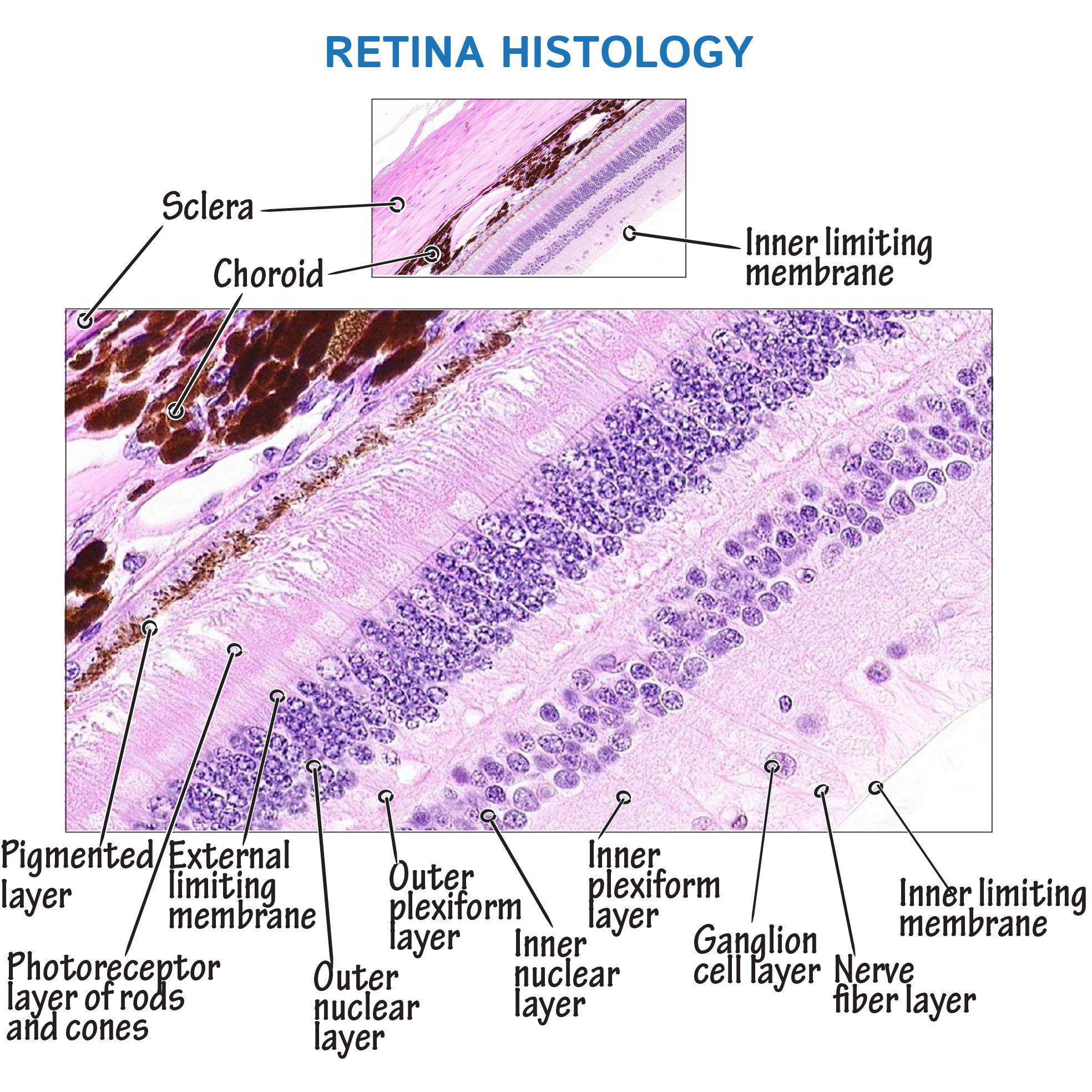 Histology Glossary Retina Histology Histology Slides Medicine