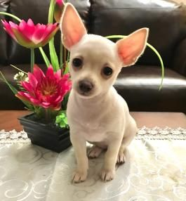 Snowy Chihuahua Puppy For Sale In Philadelphia Pa Chihuahua Puppies Chihuahua Puppies For Sale Teacup Chihuahua Puppies