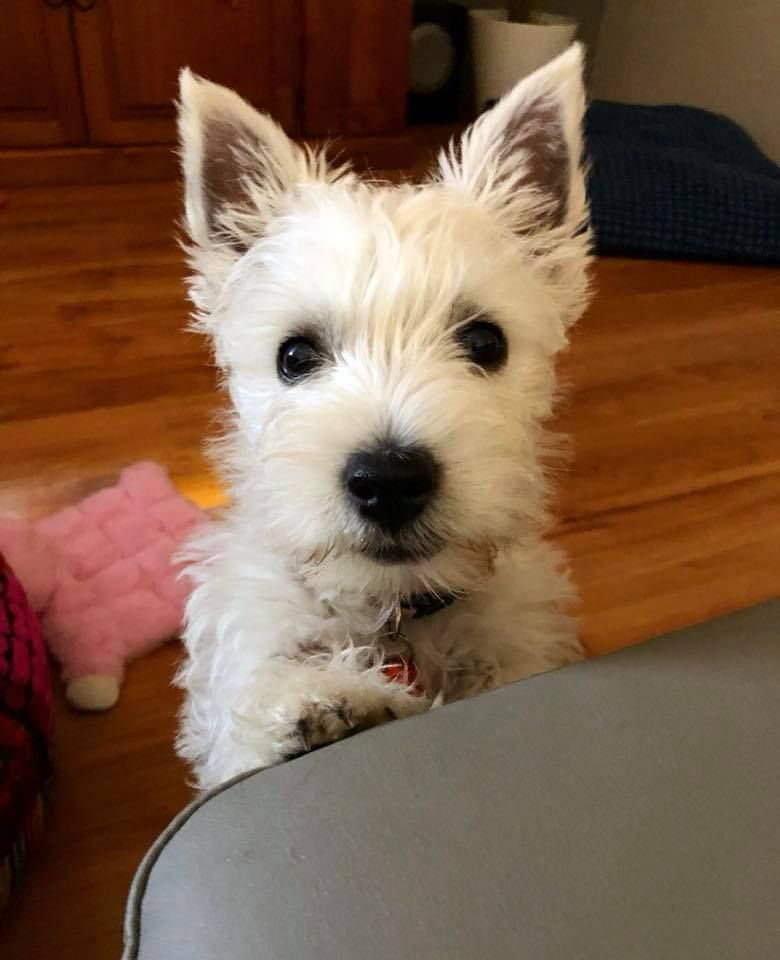 Everybody Meet Abby Our Little 12 Week Old Westie From Western