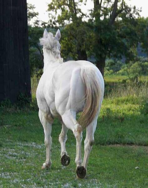 Dreamin Dun, Appaloosa Stallion, Palisades Appaloosas