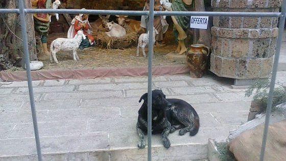 """Lavoro Bari  La scoperta all'alba: 21 galline 5 conigli sono stati uccisi da un branco di randagi. """"Ma qualcuno ha aperto il cancello per permettere la mattanza"""" la...  #LavoroBari #offertelavoro #bari #Puglia Ruvo strage di animali nel presepe vivente: """"Hanno fatto entrare i cani per distruggere tutto"""""""