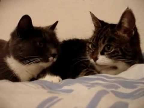 Two talking cats - Conversazione tra due gatti