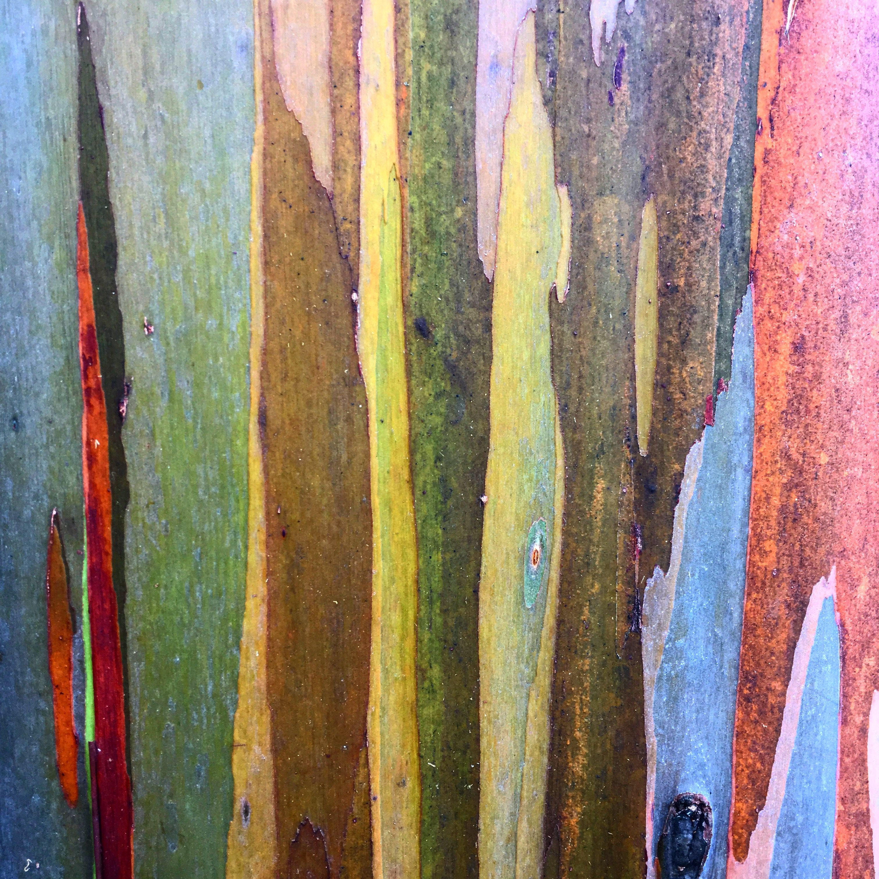 Rainbow eucalyptus tree bark from Kauai Visit paintedbarkgallery