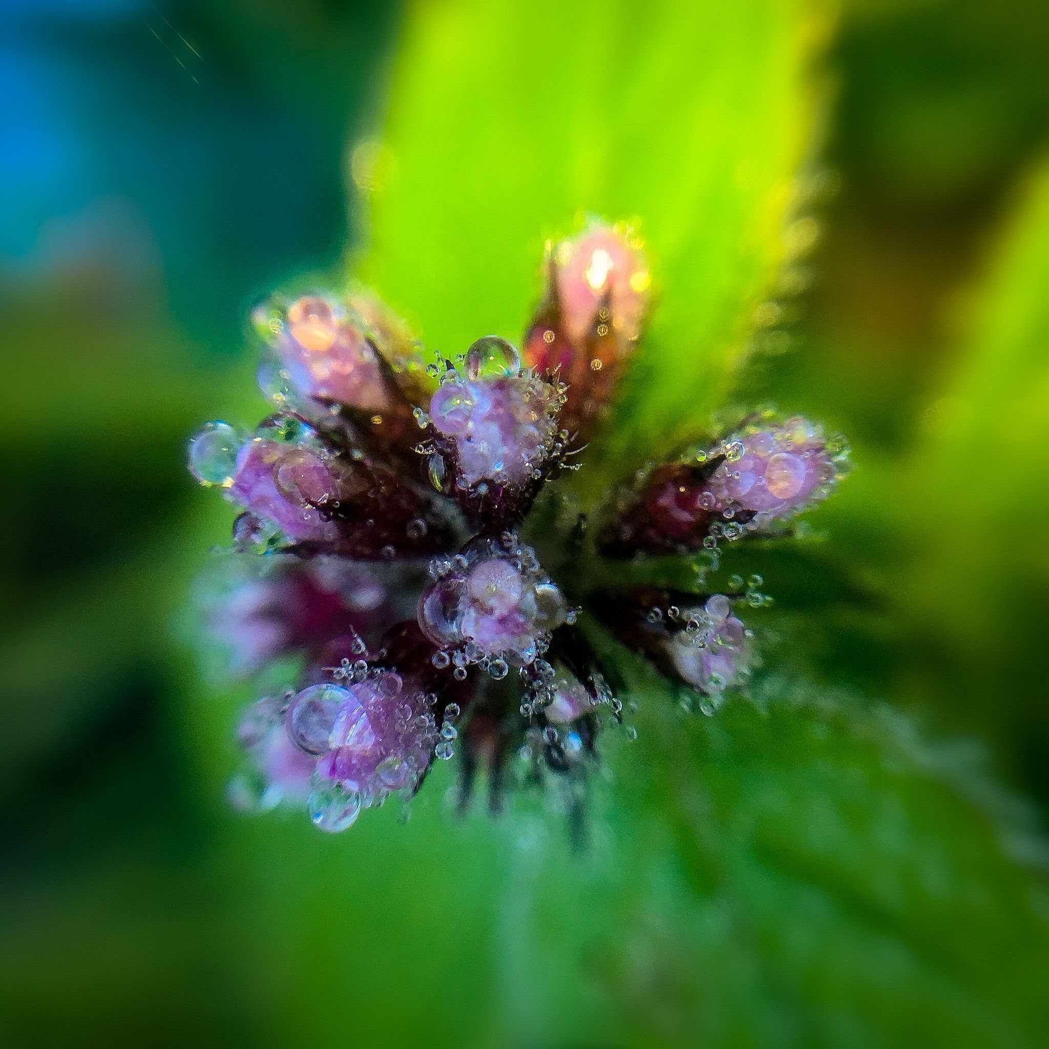 Mentha Mint Flowers Flower Bud Plants