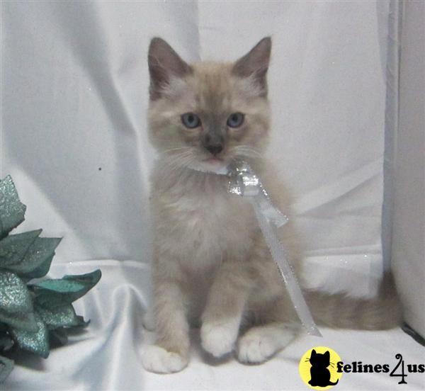 Seal Mitted Mink Tica Reg Ragdoll Kittens For Sale Kittens