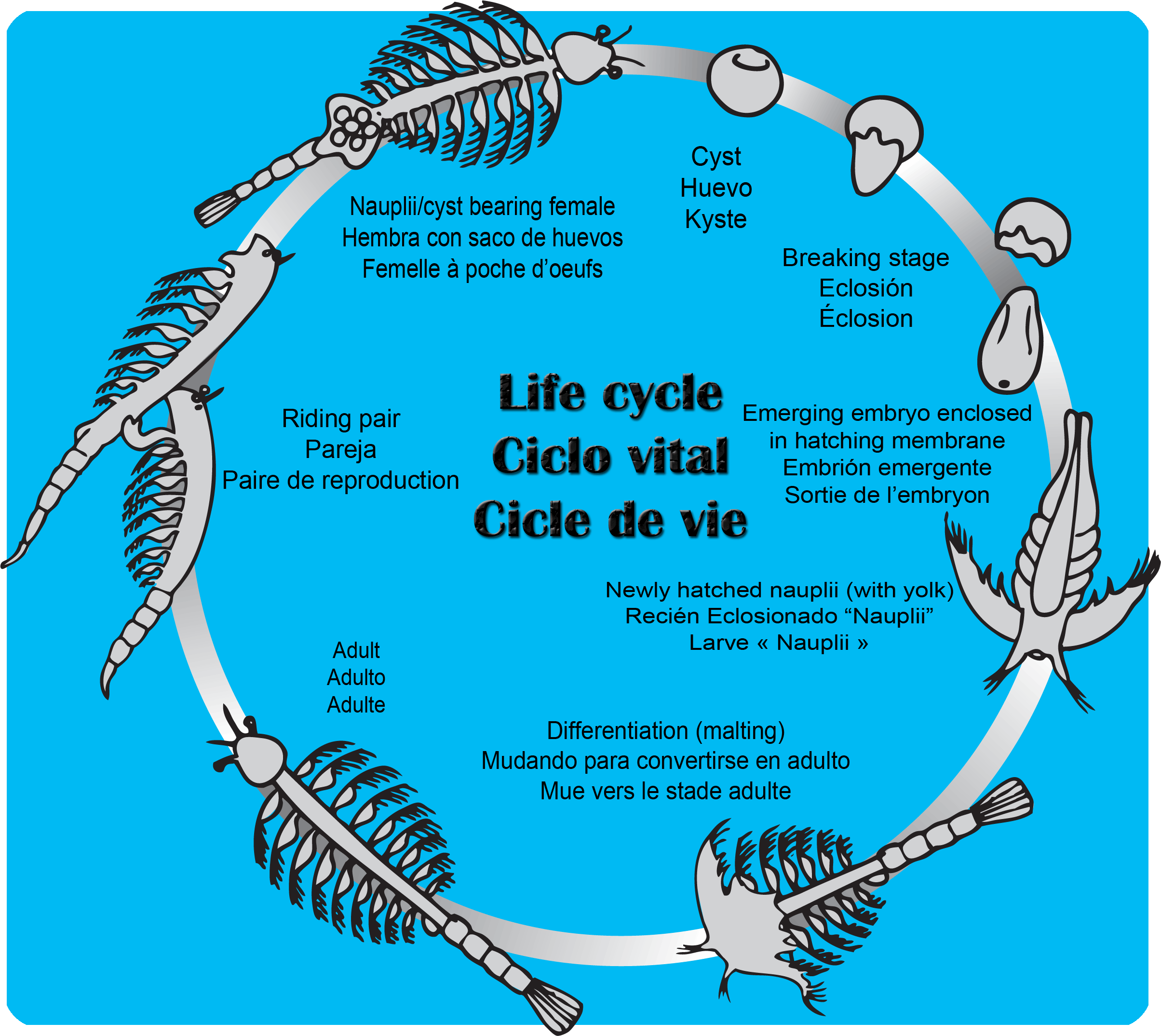 This Is The Life Cycle Of An Aqua Dragon A K A Artemia Salina Www Aquadragons Net Sea Monkeys Aqua Fishing Room