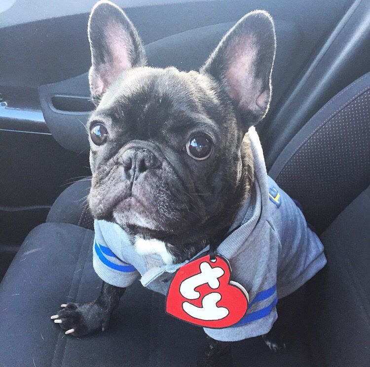 Otis Is Really A Beanie Baby Adorable French Bulldog Cute