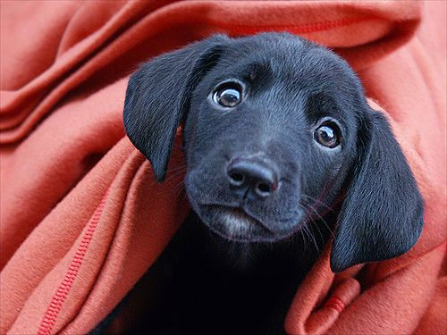 Baby Black Lab Lab Mix Puppies Cute Animal Photos Puppy Dog Eyes