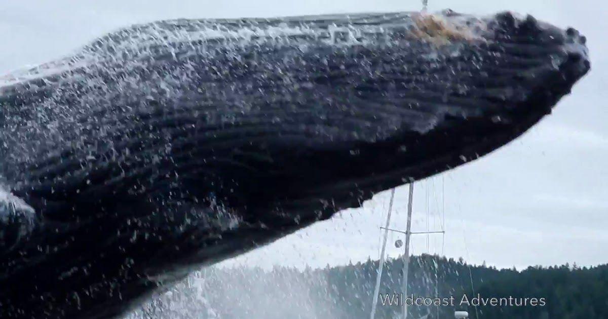 Get Back Breaching Whale S Close Encounter Shocks Kayakers Via Fox News Raw Video Humpbacks Put On Quite A Show For Whale Close Encounters The Incredibles