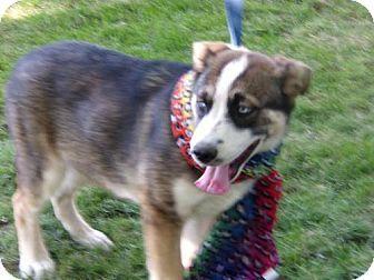 Yakima Wa German Shepherd Dog Husky Mix Meet Fred A Puppy For