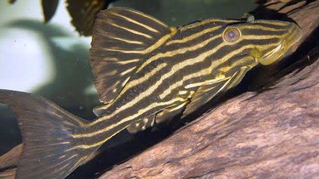 Yuk Mengenal Ikan Royal Pleco Di 2020 Ikan Air Tawar Ikan Habitat