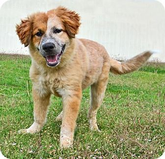 Dallas Tx Australian Shepherdst Bernard Mix Meet Shelby A Dog