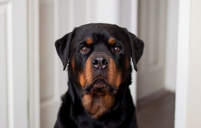 370 rottweiler names popular male and female names
