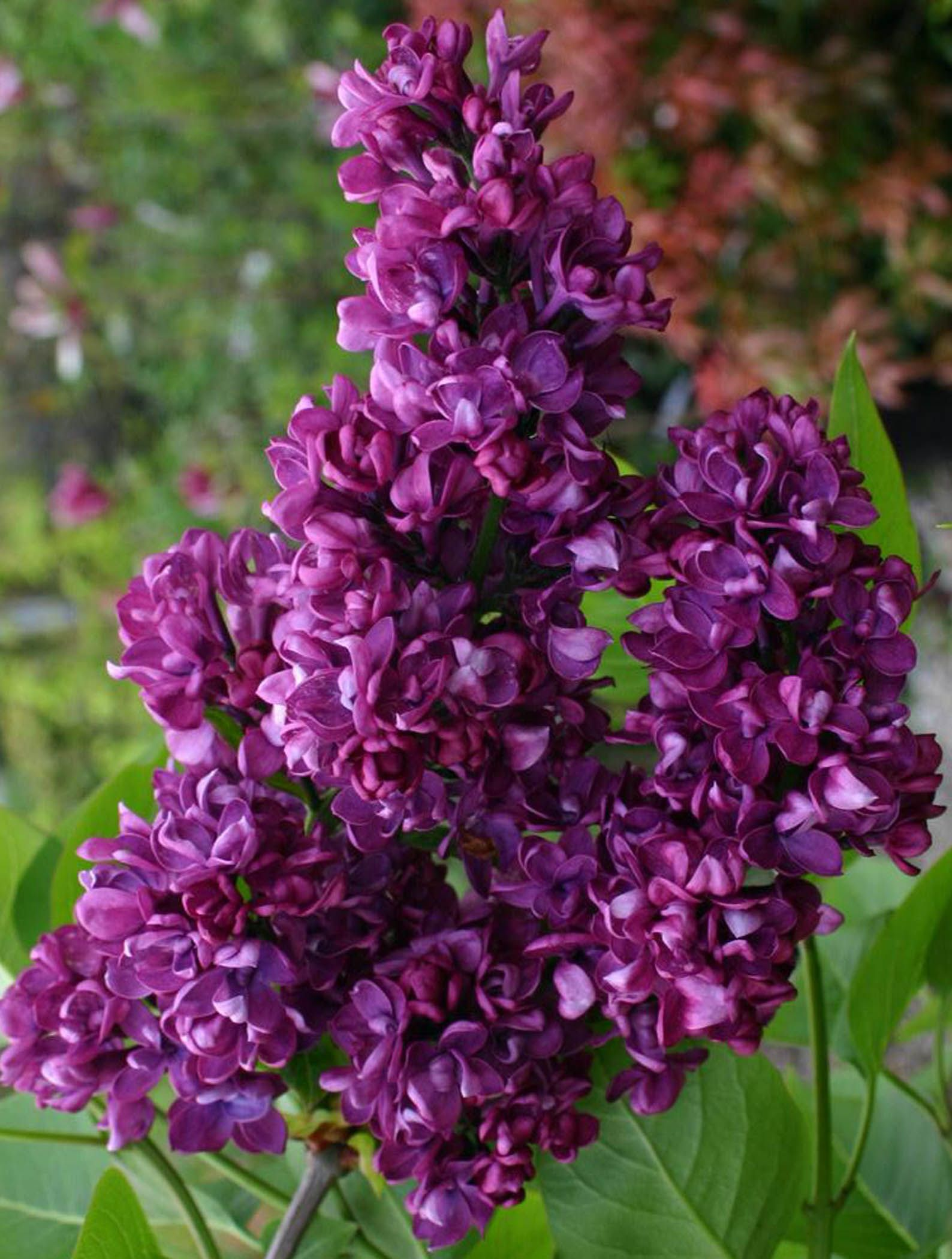 Burgundy Lilac Charles Joly Has Fragrant Wine Red Blooms That Stand Out Again Its Bright Green F Beautiful Flowers Garden Beautiful Flowers Colorful Flowers