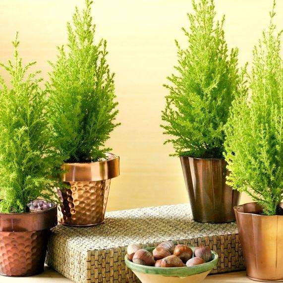 Molbak's Garden+Home - Lemon Cypress