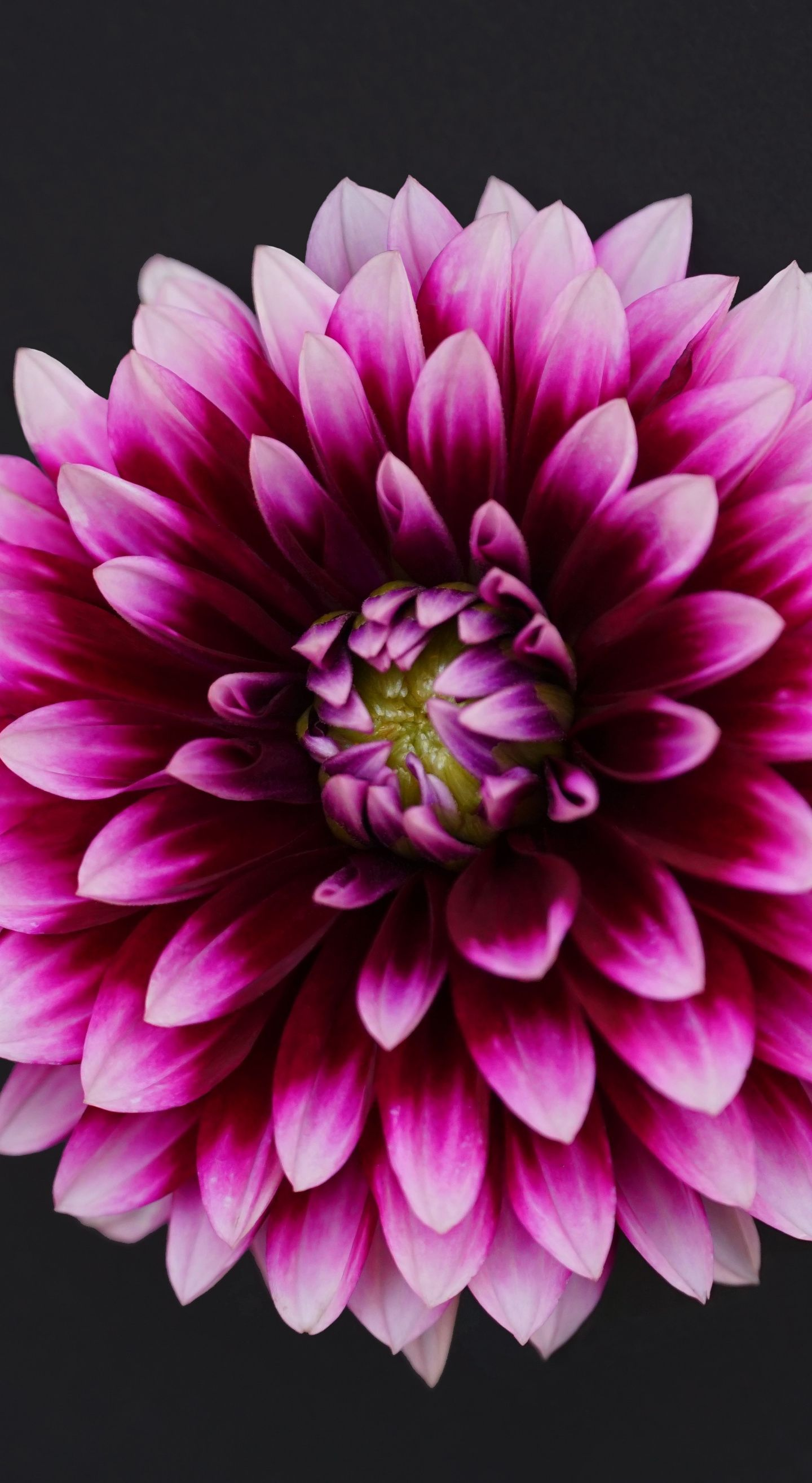 Dahlia Flowers Portrait Wallpaper Beautiful Flowers Flowers Flower Images