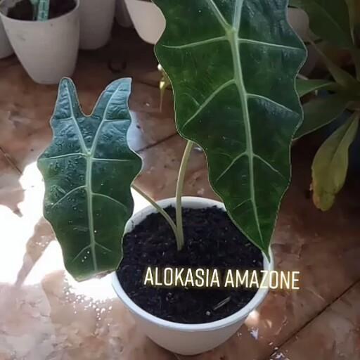 Video Alokasia Amazone Yg Cakep Wallpaper Bunga Indah Bunga Bunga Indah Tanaman