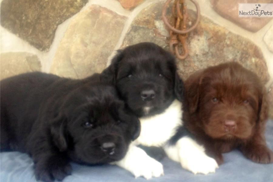 Newfoundland puppies for sale in ny