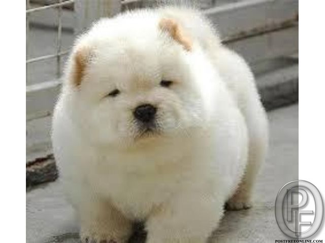 Buy A Healthy Chow Chow Pup In South West Delhi Delhi India In