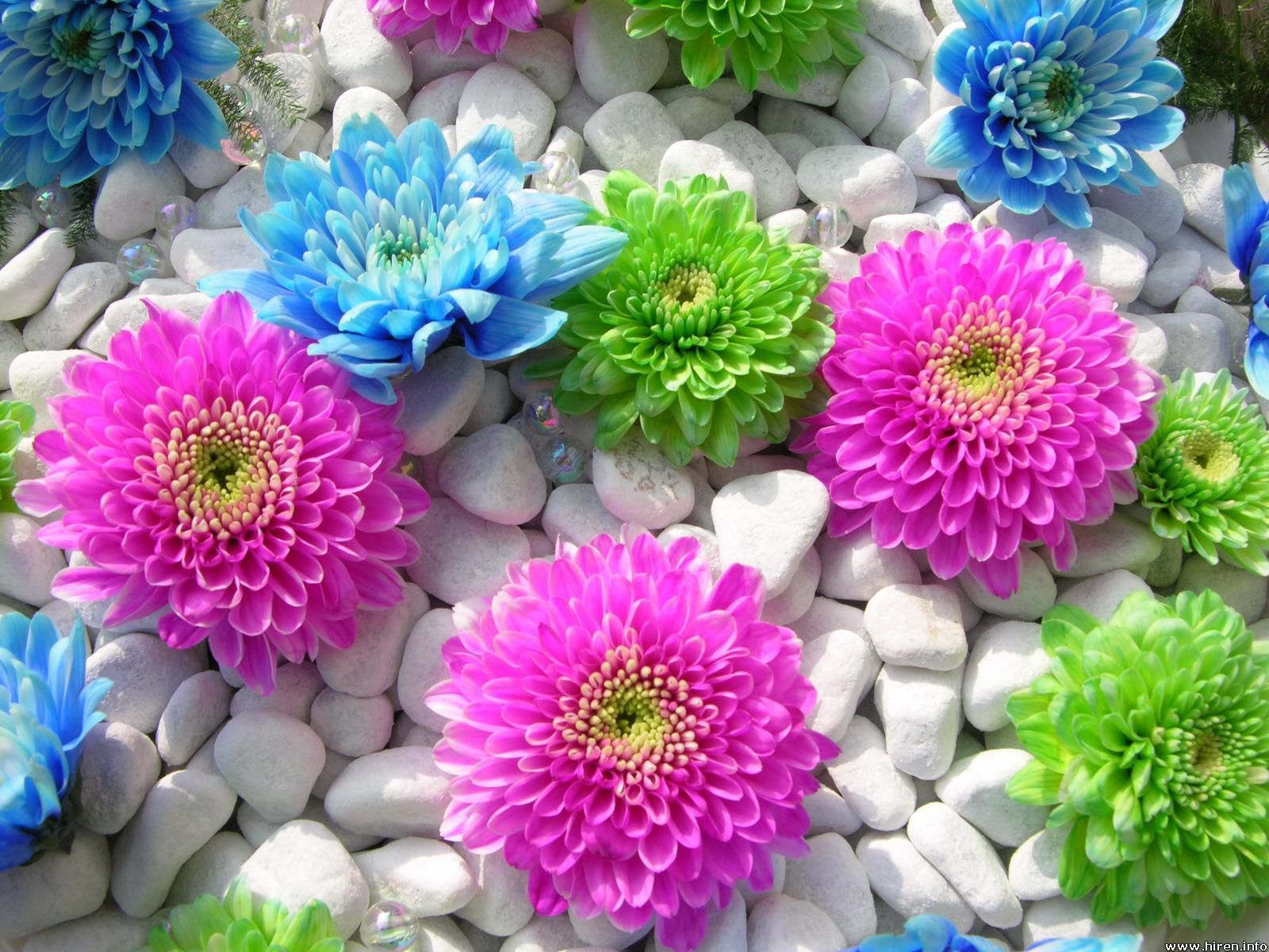 Colourful Pictures Of Flower Roses Wallpaper