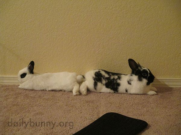 So they can better supervise their surroundings, bunnies relax tail-to-tail - September 24, 2014 - More at today's Daily Bunny post: http://dailybunny.org/2014/09/24/so-they-can-better-supervise-their-surroundings-bunnies-relax-tail-to-tail/ !