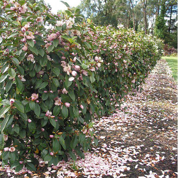 Fairy Magnolia 174 Blush Doltsopa X Yunnanensis X Figo