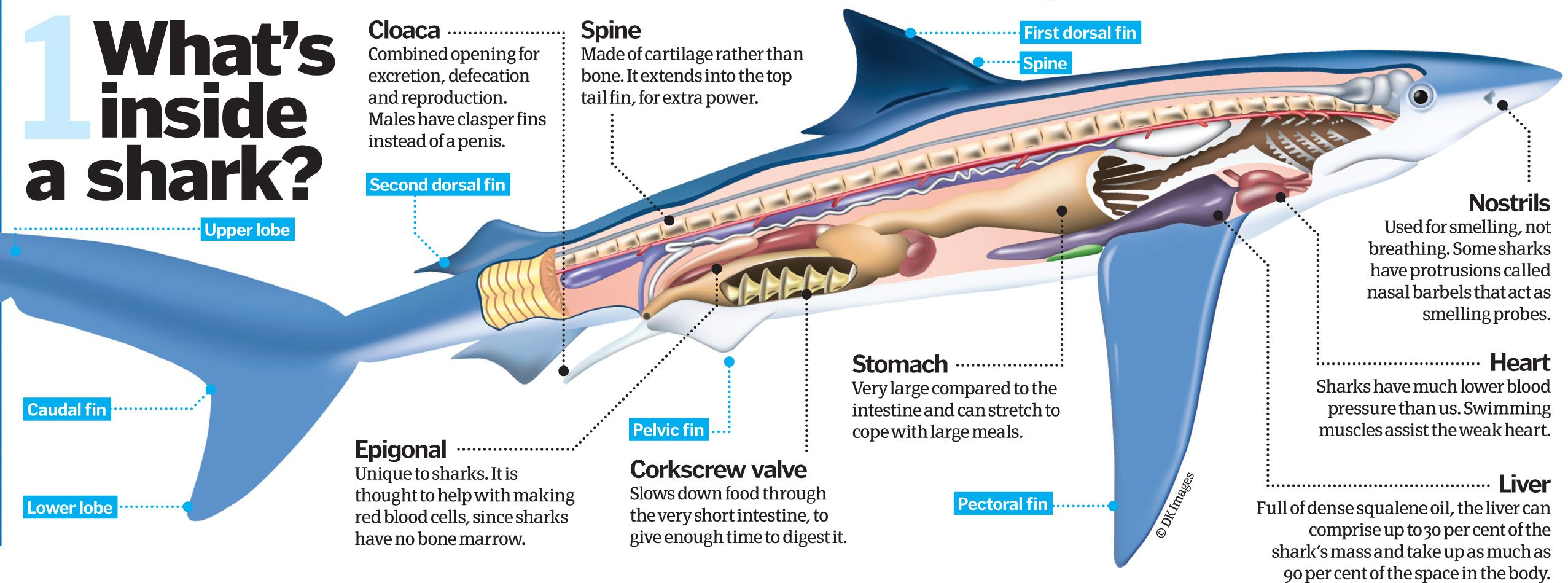 Image Result For Shark Anatomy