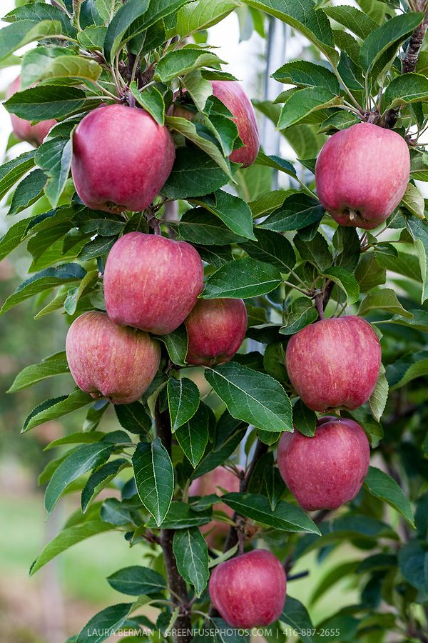 Apple Orchard Greenfuse Photos Garden Farm Food Photography Apple Orchard Photography Fruit Photography Fruit Bearing Trees