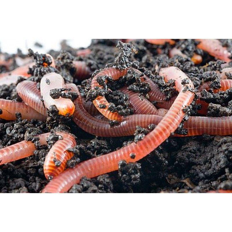 Ejemplar Pie De Cría Lombriz Roja Californiana Eisenia Foetida Compostaje Con Lombrices Acuaponía Lombriz