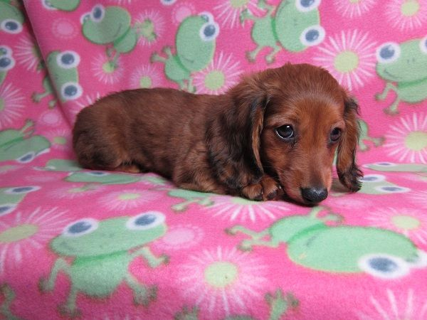 Pocomoke Md Dachshund Meet Lucy A Dog For Adoption