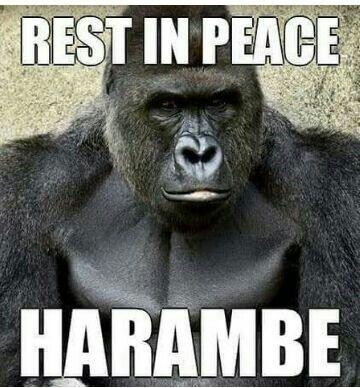 Harambe. #Innocen #animal #pal #captive #life #sad #human #society