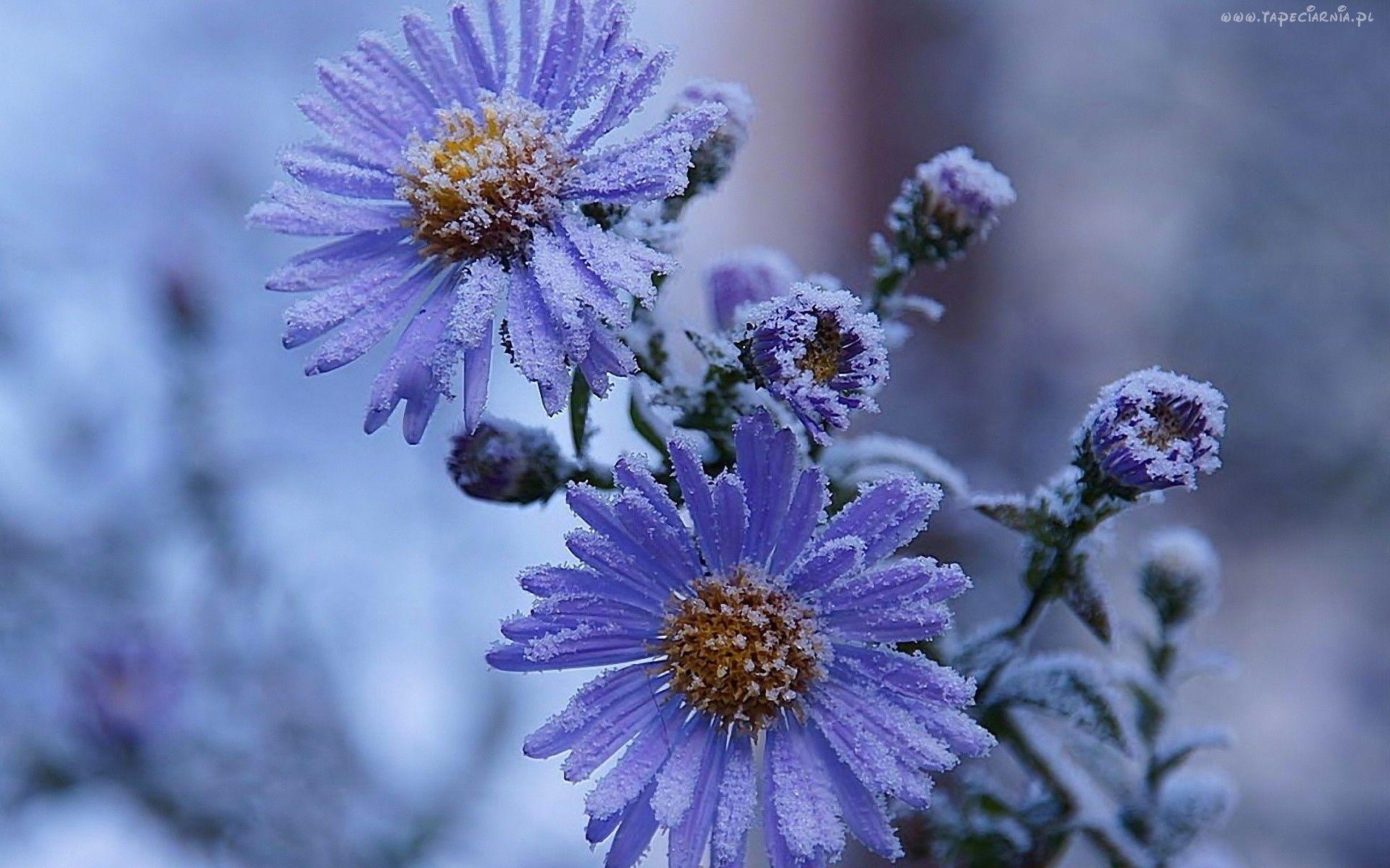 Edycja Tapety Zima Oszroniony Aster Tapety Tapeta Zdjecia Tapety Na Pulpit Nature Amazing Flowers Aster