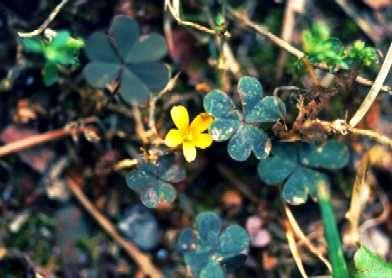 Oxalis corniculata (Acetosella dei campi)