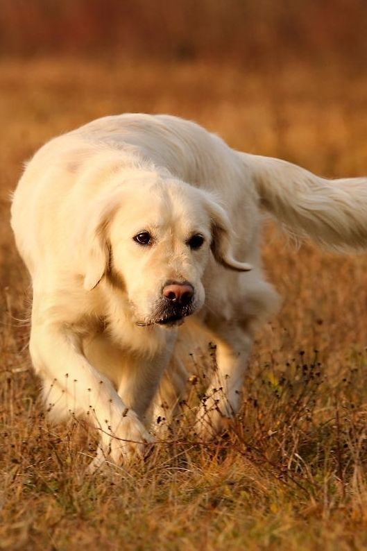 Golden Retriever Golden Retriever Retriever Bird Dogs