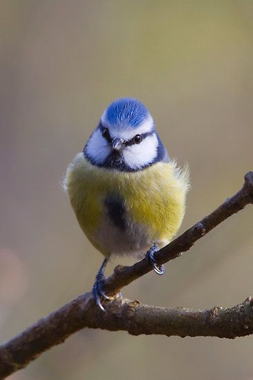 blue and yellow #bird