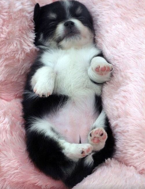 Little Corgi Puppy I Need Dis 3 With Images Cute Animals