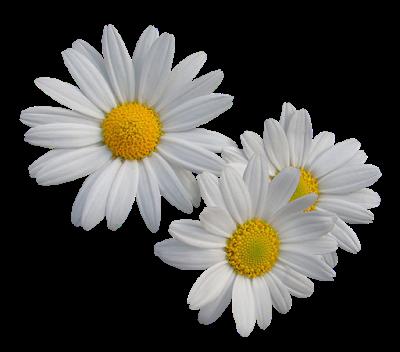 flores-margaridas grande