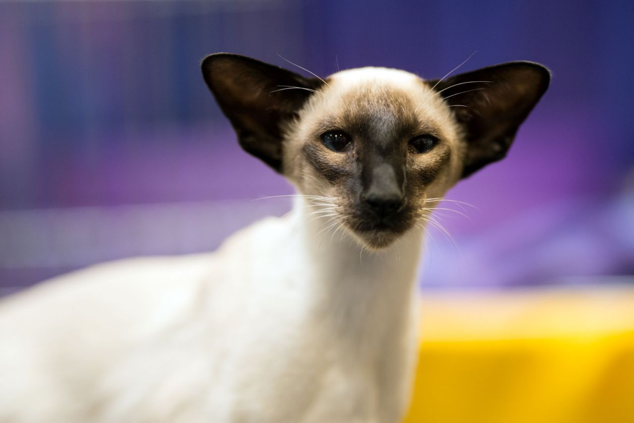A Seal Point Siamese Kitten Rests After Being Judged At The 42nd Supreme Cat Show Organized By The Governing Co Seal Point Siamese Siamese Kittens Fancy Cats