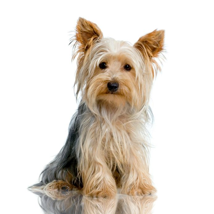 The Yorkshire Terrier Pet Shop Pet Shop Online Caes