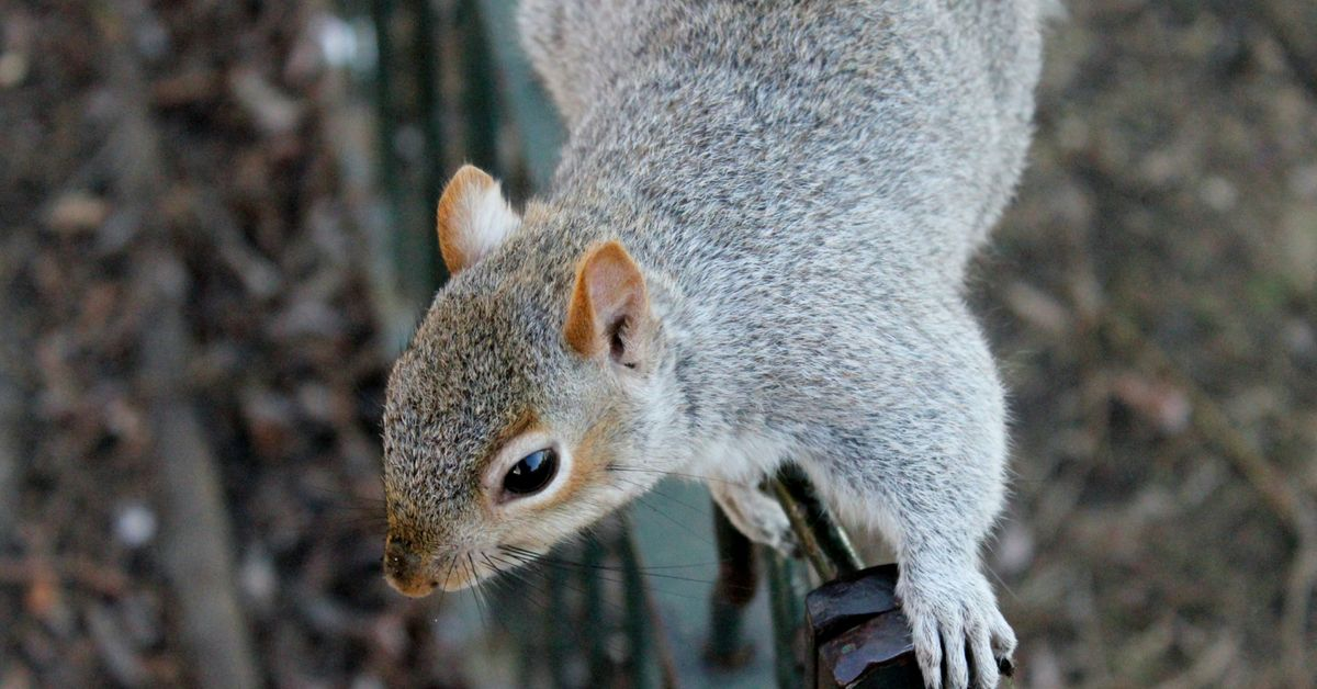 Have You Seen Squirrels Around Your Home Are You Awakened Suddenly By Noises In The Attic At Night You Are Not Alone Her Squirrel Animals Animal Photography