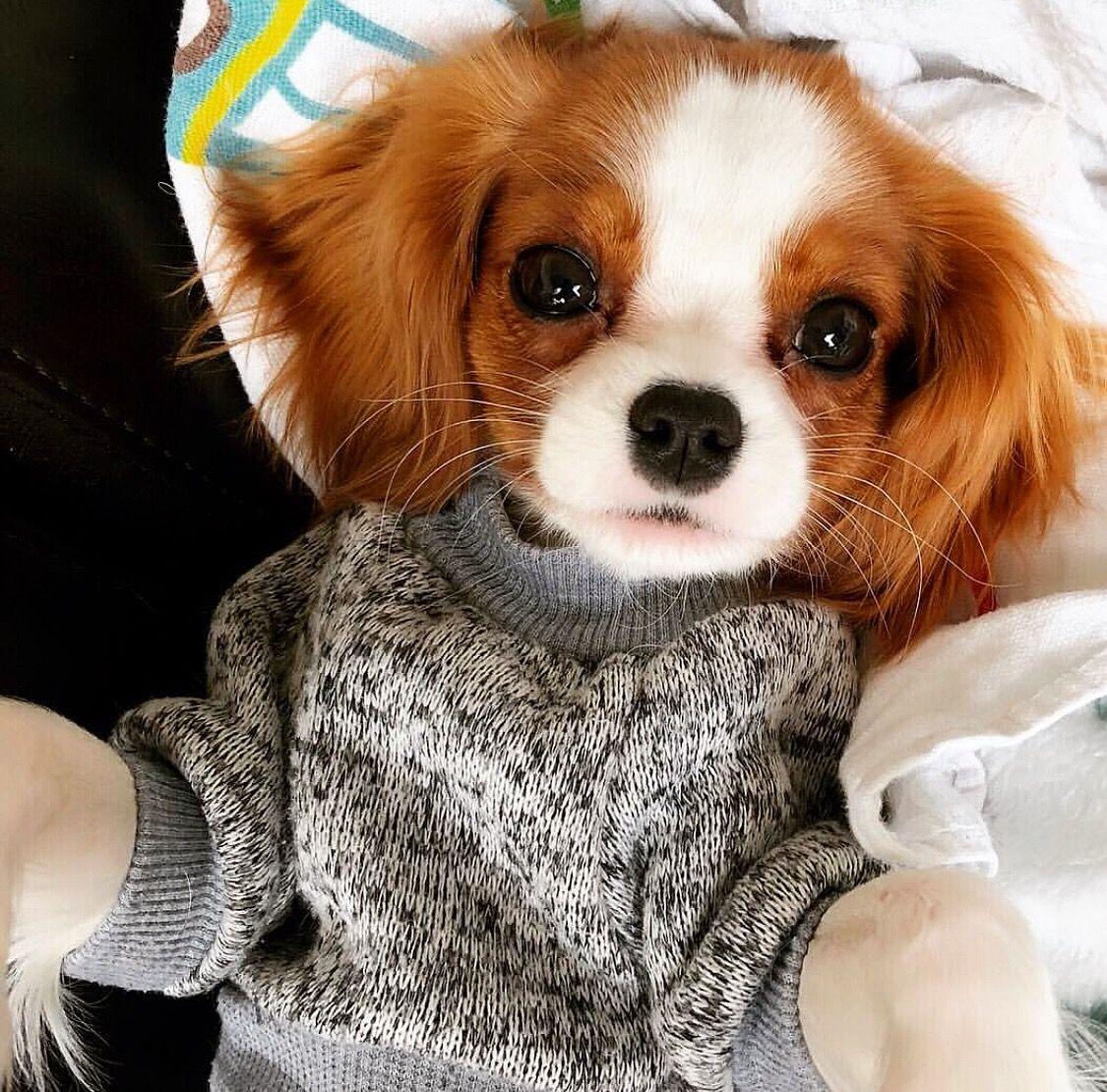Cavalier King Charles Spaniel puppy love. Tento pin a mnoho dalšího  naleznete na nástěnce ... 28bbdea6a6