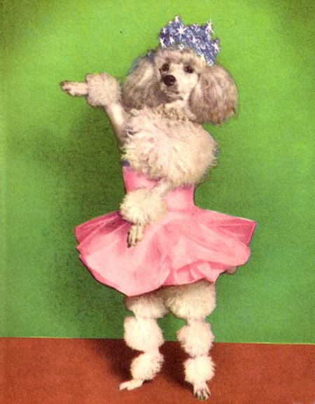A Poodle In A Tiara And A Pink Tutu It Doesn T Get Any More Camp