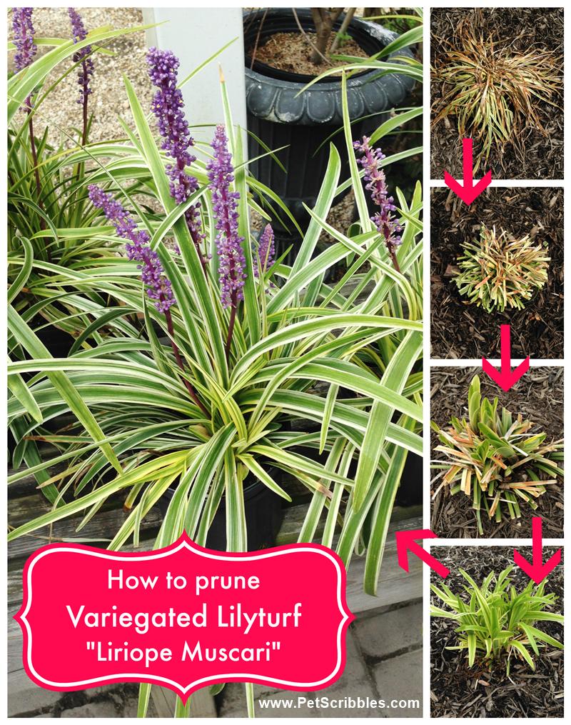 How to prune variegated lilyturf liriope muscari