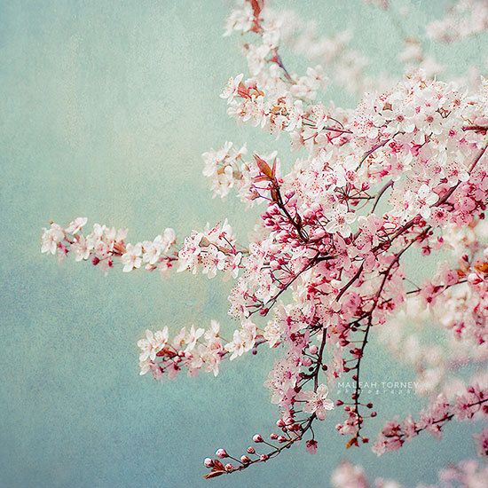 Cherry Blossom Print Cherry Blossom Tree Picture Cherry Blossom Flower Photography Pink Flowers Photography Pink Flowering Trees Blossom Trees