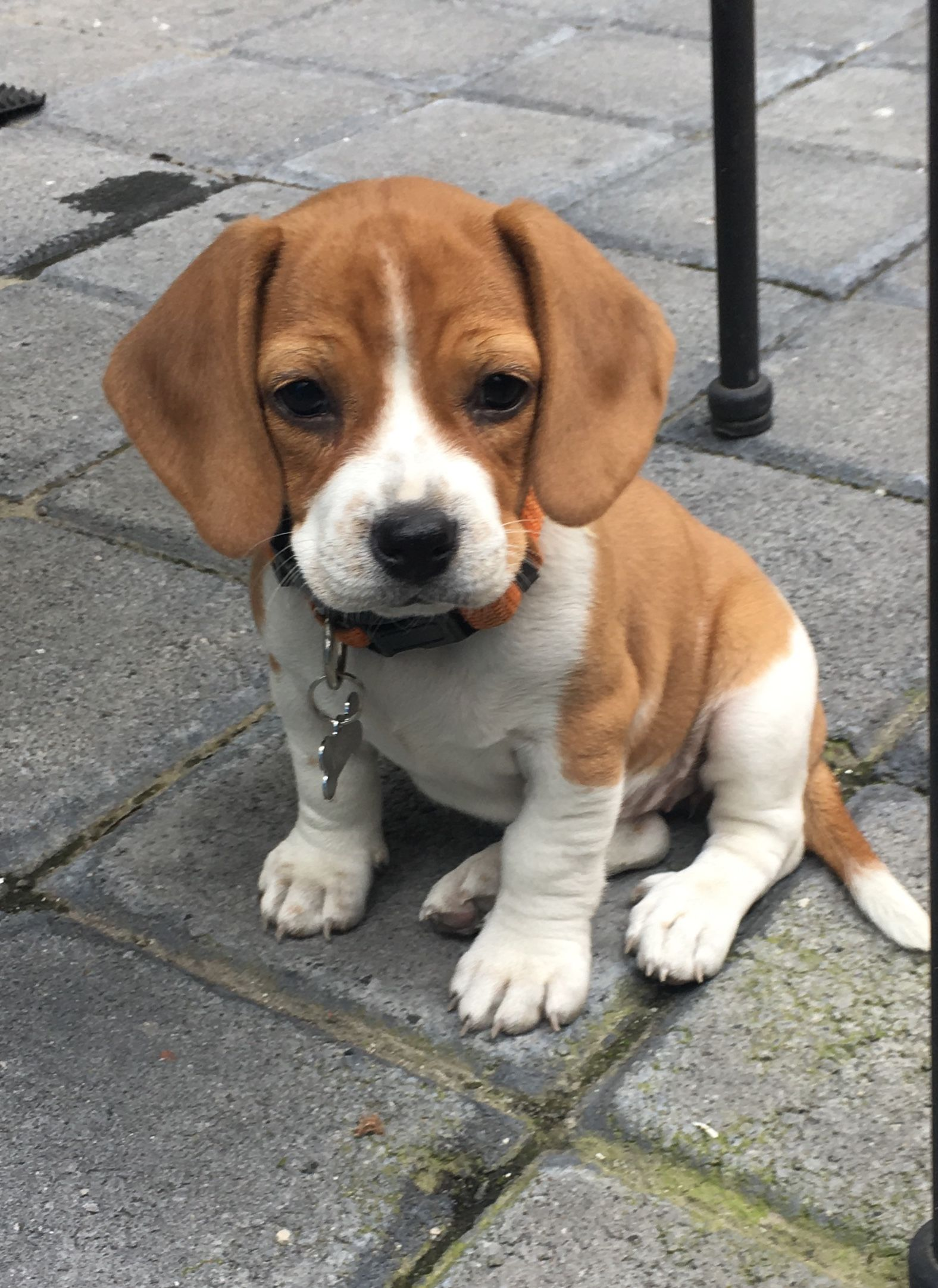 Baby Beagle Very Cute Dogs Cute Dogs Cute Little Puppies