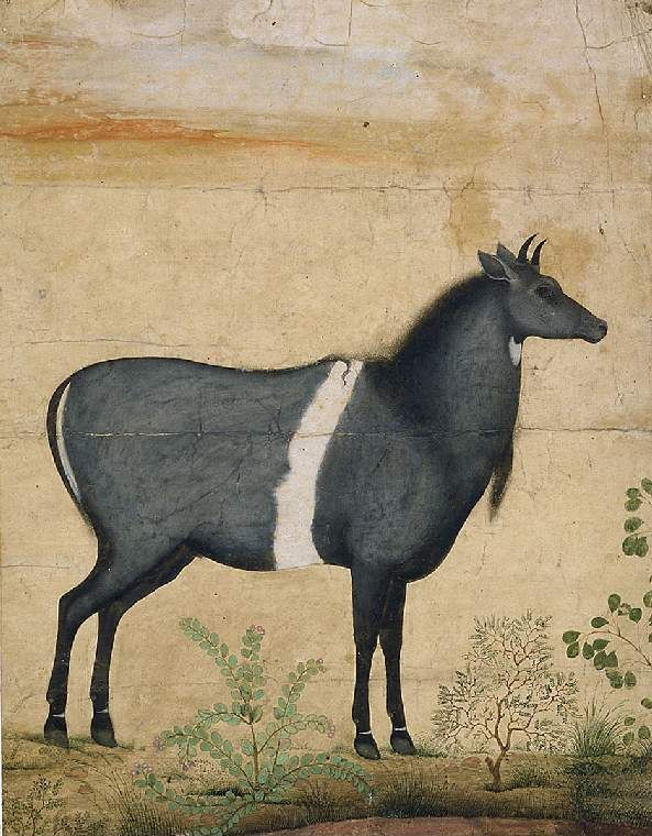 "e. 17th C. Horse perhaps detail from 'Nilgai standing to right, plants in the foreground."" ;attributed to; Mughal artist Mansur, Ustad."