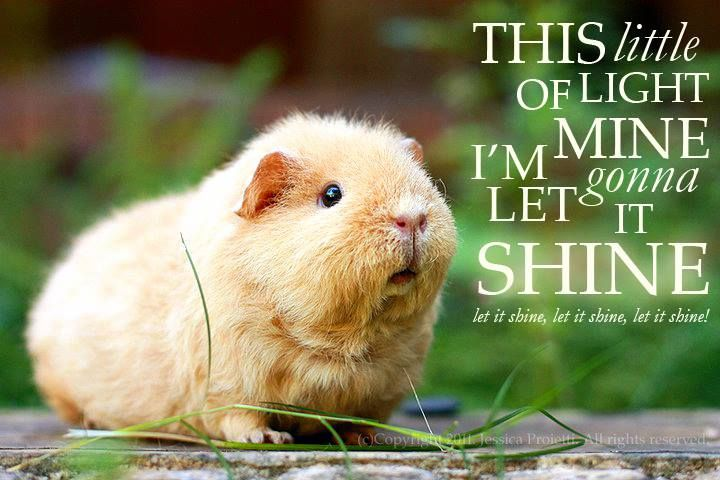 Pin On Guinea Pig Quotes