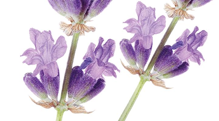 Resultado de imagem para lavande fleur