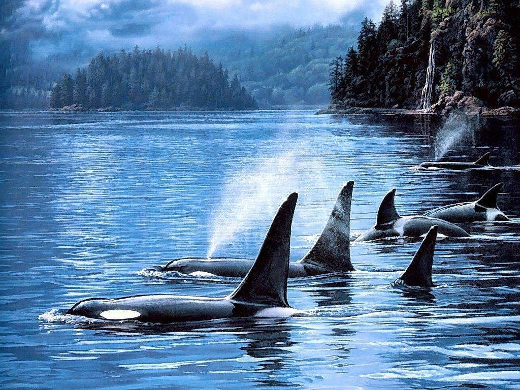 Great Orca Wallpaper